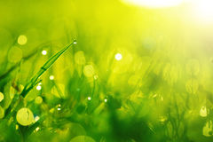 Vått gräs för gräsplan med dagg på blad. Grund DOF Royaltyfri Fotografi