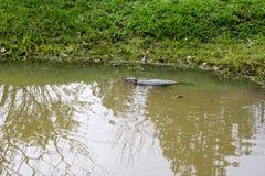 Vått löst för brunt med skarpa tänder och den vatten- bäverdet vanliga för stor svans, gnagareflötena i ett damm, en flod med ler arkivfoto