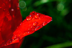 Vått rött tulpankronblad Royaltyfri Fotografi