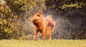 Vått skaka för hund och plaskande vattendroppar lite varstans Royaltyfria Foton