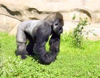 Végétarien d'hominidé de singe de primauté de gorille Photo stock