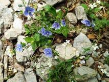 Végétation alpine : Chamaedrys L de Veronica - Véronique de Germander photos stock