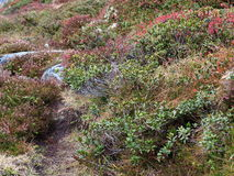 Végétation alpine de montagnes Photo libre de droits