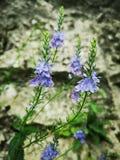 Végétation alpine : Scheereri J de Veronica - P Brandt Holub photo libre de droits