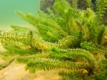 Végétation canadienne d'élodée sur le tir de plan rapproché du fond de lac Image libre de droits
