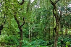 Végétation de broussaille de forêt Engazonnez l'élevage sur la couche herbacée d'understory ou les broussailles sur la clairière  Photographie stock