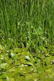 végétation de marais Photo libre de droits