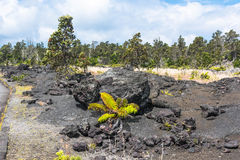 Végétation sur le gisement de lave, Hawaï Photo stock