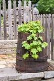 Végétation verte dans un vieux baril dans l'arrière-cour Image libre de droits