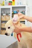 Vérification de l'oreille de chiens images libres de droits
