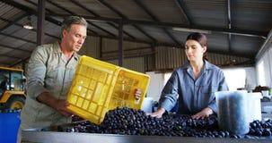 Vérification de travailleurs olives moissonnées dans l'usine 4k banque de vidéos