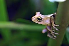 Véritable grenouille d'arbre, amphibie aperçu dans Rainfore atlantique restant Photo stock