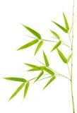 Véritable jeune centrale en bambou Image stock