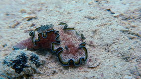 Véritable lingot de mer de macro de couleur mollusque de Nudibranch banque de vidéos