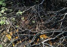 Véritable Rhizophora d'espèces d'arbre de palétuvier Photos stock