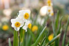 Véritables fleurs de narcisse photo stock