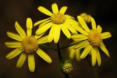 Véritables fleurs jaunes sous forme de soleil Image libre de droits