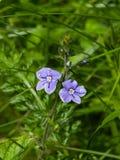 Véronique bleue de Germander de fleur ou chamaedrys de Veronica sur le macro de tige, foyer sélectif, DOF peu profond photo stock