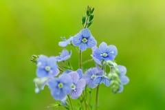 Véronique de germander de fleur ou véronique de primevère farineuse (Chamaedrys de Veronica) image libre de droits