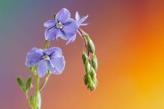 Véronique de Germander, ou chamaedrys de Veronica - espèces éternelles herbacées d'usine fleurissante photos stock