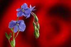 Véronique de Germander, ou chamaedrys de Veronica - espèces éternelles herbacées d'usine fleurissante images libres de droits