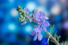 Véronique de Germander, ou chamaedrys de Veronica - espèces éternelles herbacées d'usine fleurissante photographie stock