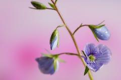 Véronique de Germander, ou chamaedrys de Veronica - espèces éternelles herbacées d'usine fleurissante images stock