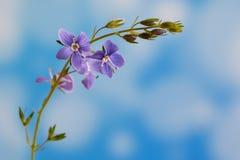 Véronique de Germander, ou chamaedrys de Veronica - espèces éternelles herbacées d'usine fleurissante image stock