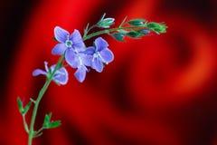 Véronique de Germander, ou chamaedrys de Veronica - espèces éternelles herbacées d'usine fleurissante image libre de droits