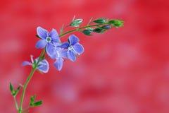 Véronique de Germander, ou chamaedrys de Veronica - espèces éternelles herbacées d'usine fleurissante photos libres de droits