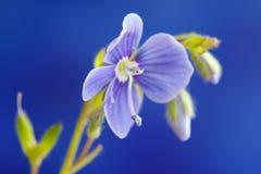 Véronique de Germander, ou chamaedrys de Veronica - espèces éternelles herbacées d'usine fleurissante photo libre de droits