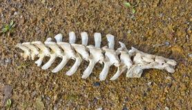 Vértebras da espinha fotografia de stock