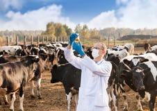 Vétérinaire aux bétail de ferme Images libres de droits