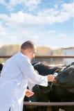 Vétérinaire aux bétail de ferme images stock