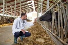Vétérinaire avec des vaches dans l'étable à l'exploitation laitière Photo libre de droits