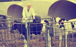 Vétérinaire avec des veaux dans l'exploitation d'élevage Photo libre de droits