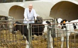 Vétérinaire avec des veaux dans l'exploitation d'élevage Photo stock