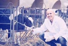 Vétérinaire avec des veaux dans l'exploitation d'élevage Photos stock
