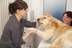 Vétérinaire caressant le chien d'arrêt d'or Photo stock