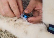 Vétérinaire donnant l'injection Photos stock
