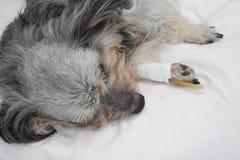 Vétérinaire donnant le vaccin au chien image libre de droits