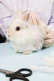 Vétérinaire en traitant des lapins pendant le balayage Photographie stock