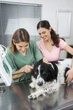 Vétérinaire examinant l'oreille de border collie avec l'otoscope par la femme Image stock