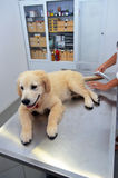Vétérinaire examinant le chiot mignon Photo libre de droits