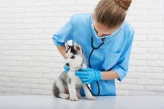 Vétérinaire examinant le petit chiot enroué Photographie stock