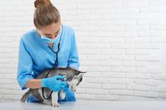 Vétérinaire examinant le petit chiot enroué Images stock