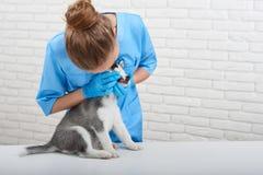 Vétérinaire examinant le petit chiot enroué Photo stock