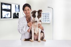 Vétérinaire examinant un chien tout en faisant le contrôle à la clinique bord photographie stock