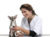 Vétérinaire examinant un chiwawa avec un stéthoscope photographie stock libre de droits