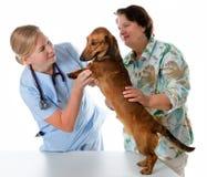 Vétérinaire examinant un crabot photo libre de droits